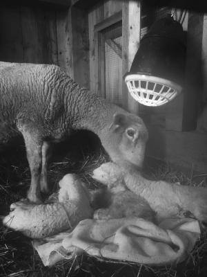 Romney Ewe with Triplets