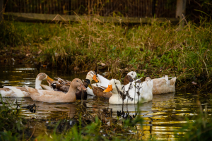 Penny's egg-laying ducks