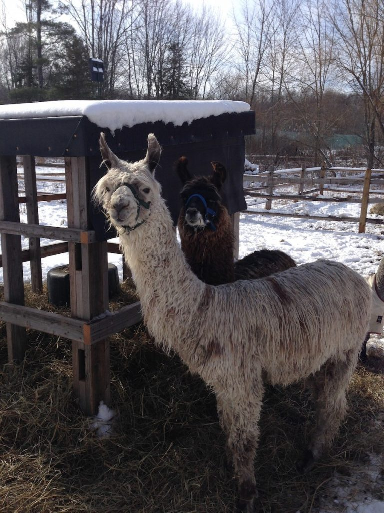 Atlas (in front) and Hercules (in back), the llamas of Henny Penny Farm