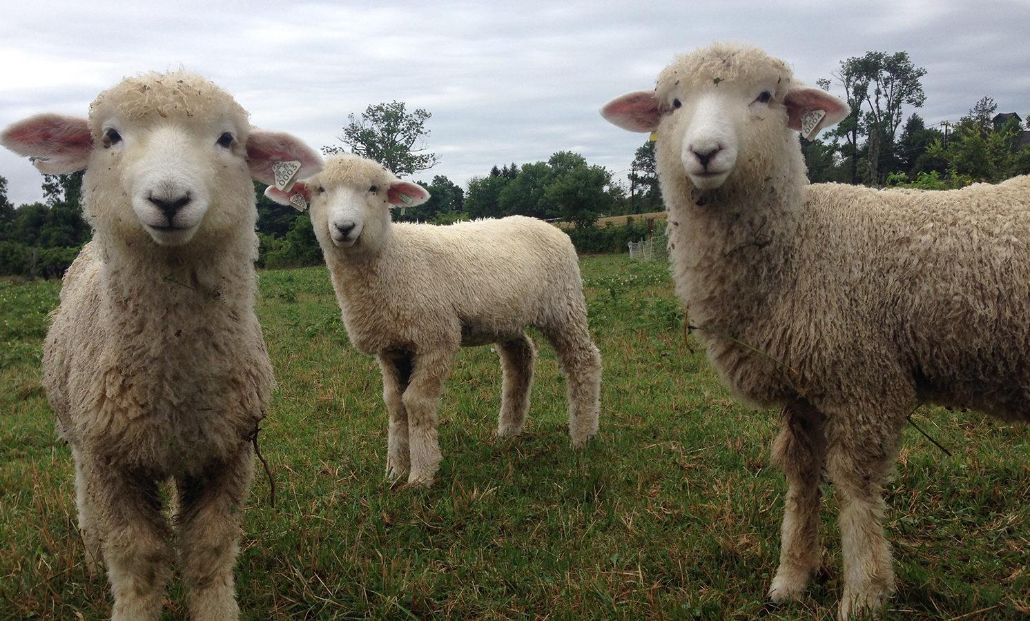 Romney Sheep at Henny Penny Farm, Ridgefield CT